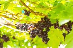 Winogrona w winnicy Zdjęcia Royalty Free