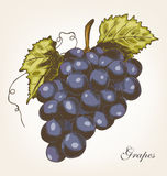 Winogrona, wektorowa ilustracja Obraz Stock