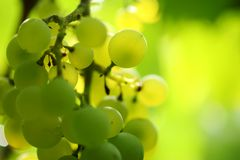 winogrona wiązek Zdjęcia Royalty Free