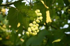 winogrona wiązek Zdjęcie Stock