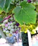 Winogrona wiesza na gałąź Obraz Royalty Free