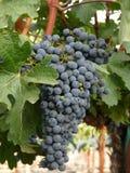 winogrona wino Fotografia Stock