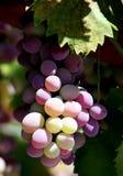 winogrona winorośli obraz royalty free