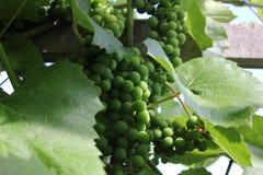 Winogrona z zielonymi liśćmi 8168 Zdjęcia Royalty Free