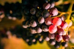 Winogrona zamykają up przy zmierzchem przed żniwem zdjęcia royalty free