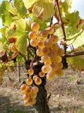 winogrona zbierają smakowitego wino Zdjęcie Royalty Free