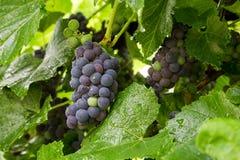winogrona zbierają smakowitego wino Zdjęcie Stock