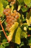 winogrona zbierają smakowitego wino obraz stock