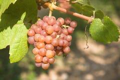 winogrona zbierają target1676_0_ Zdjęcie Royalty Free