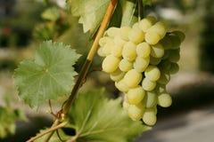 winogrona zielone winorośli Zdjęcie Stock