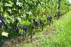 winogronami podnoszącymi vendage jest Zdjęcia Royalty Free