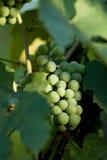 winogrono fotografia stock