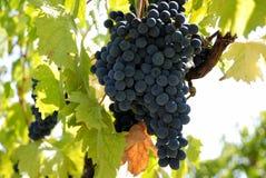 winogrono obraz stock