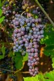 Winogrono Zdjęcie Royalty Free