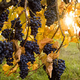 winogrono Obrazy Stock
