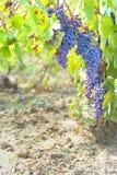 winogrono błękitny winnica Zdjęcie Royalty Free