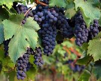 winogrono czarny liść Obrazy Royalty Free
