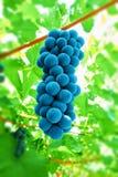 winogrono czarny winograd fotografia royalty free