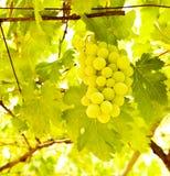 Winogrono gałąź Zdjęcia Stock