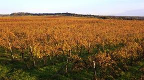 Winogrono krajobraz Zdjęcia Stock