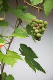 winogrono liść Obrazy Royalty Free