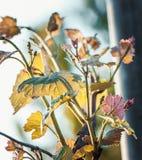 Winogrono liście na gałąź Fotografia Royalty Free
