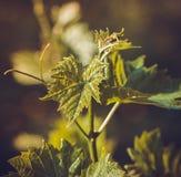 Winogrono liście na gałąź Zdjęcie Royalty Free