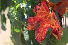 winogrono liście w winnicy Zdjęcia Royalty Free