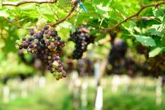 Winogrono na drzewie Obrazy Royalty Free