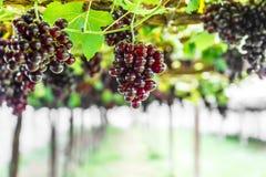 Winogrono na gronowym winogradzie Zdjęcia Royalty Free