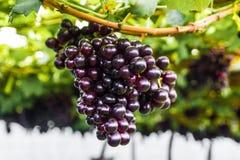 Winogrono na gronowym winogradzie Zdjęcie Royalty Free