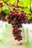 Winogrono na gronowym winogradzie Fotografia Royalty Free