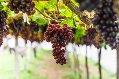 Winogrono na gronowym winogradzie Fotografia Stock