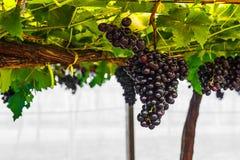 Winogrono na gronowym winogradzie Obrazy Royalty Free