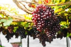 Winogrono na gronowym winogradzie Zdjęcia Stock