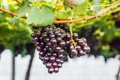 Winogrono na gronowym winogradzie Zdjęcie Stock