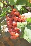 Winogrono na winogradzie Zdjęcia Royalty Free