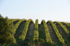 Winogrono odpowiada napy dolinę na sposobie Santa Rosa Zdjęcie Stock