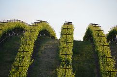 Winogrono odpowiada napy dolinę na sposobie Santa Rosa fotografia stock
