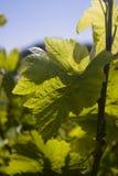 winogrono opuszczać winogradu zdjęcia stock