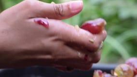 Winogrono owoc stwarzają ognisko domowe wino przetwarza gruntownego miażdżenie owoc z młodymi żeńskimi nagimi rękami zbiory wideo