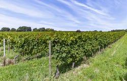 winogrono piękny winnica Zdjęcie Stock