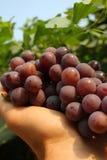 winogrono podnosił Fotografia Royalty Free