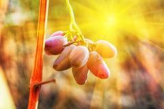 Winogrono przy zmierzchem Zdjęcie Stock