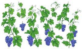 Winogrono Rozgałęzia się z Dojrzałymi jagodami royalty ilustracja