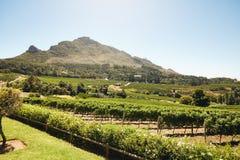 Winogrono uprawia ziemię dla winemaking przemysłu Obraz Royalty Free
