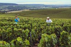 Winogrono w Szampańskim regionie, Francja Zdjęcie Royalty Free