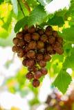 Winogrono w winnicy Fotografia Royalty Free