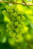 Winogrono w winnicy Obrazy Royalty Free