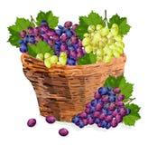 Winogrono wiązki akwareli koszykowa Wektorowa ilustracja Rewolucjonistki i zieleni winogrona w drewnianym koszu Sezonów jesiennyc royalty ilustracja